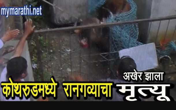 कोथरूडमध्ये आलेला रानगवा अखेर मृत्यूमुखी....(व्हिडीओ)