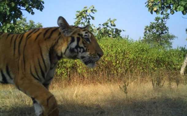 वाघाची व बिबट्याची कातडी तस्करी प्रकरणी मोठी कारवाई- 5 आरोपींना रंगेहाथ पकडले